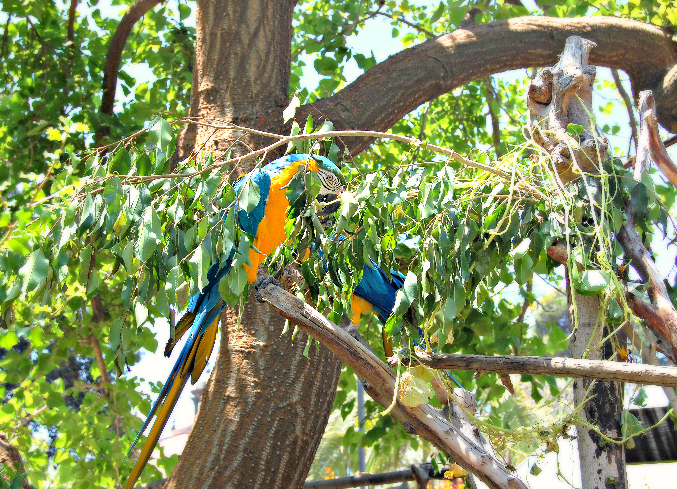 Parrots on display at the San Diego Zoo, California
